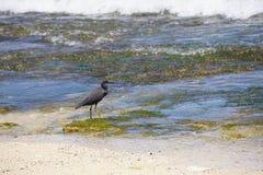 走在海滩的一块生苔石头的鸟在巴厘岛印度尼西亚 库存照片