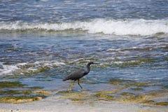 走在海滩的一块生苔石头的鸟在巴厘岛印度尼西亚 免版税图库摄影