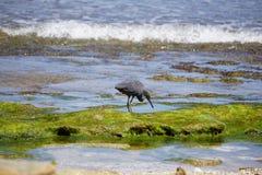 走在海滩的一块生苔石头的鸟在巴厘岛印度尼西亚 图库摄影