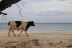 走在海滩的母牛 免版税库存图片