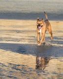 走在海滩的狗 免版税库存照片
