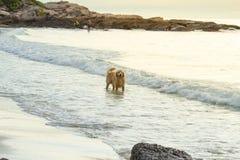走在海滩的金黄狗在日落 免版税图库摄影