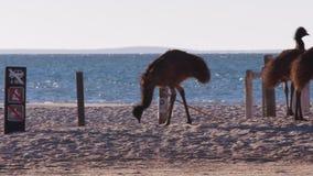 走在海滩的鸸 影视素材