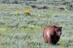 走在海登谷的北美灰熊男性熊在黄石国家公园在怀俄明美国 图库摄影