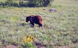 走在海登谷的北美灰熊男性熊在黄石国家公园在怀俄明美国 免版税库存图片