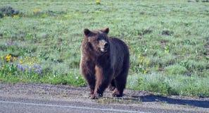 走在海登谷的北美灰熊男性熊在黄石国家公园在怀俄明美国 免版税库存照片