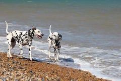 走在海的达尔马提亚狗 免版税库存图片