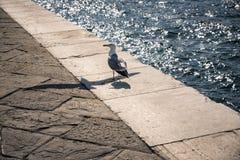 走在海鸥飞行的阴影的海鸥 库存图片