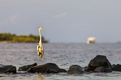 走在海滩的一只美丽的灰色苍鹭 免版税库存照片