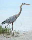 走在海滩的伟大蓝色的苍鹭的巢 免版税库存照片