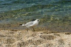 走在海滩的海鸥 免版税库存图片