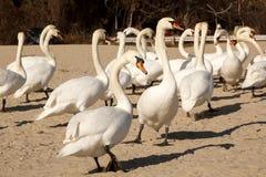 走在海滩的疣鼻天鹅 免版税库存图片