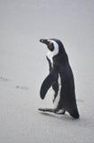 走在海滩的非洲企鹅 免版税库存照片