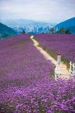 走在淡紫色领域公园 图库摄影