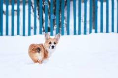 走在深白色随风飘飞的雪的一只小的滑稽的红头发人小狗小狗的画象在冬天在村庄 免版税库存照片
