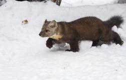 走在深白色雪,外形视图的松貂,在冬天 免版税库存照片