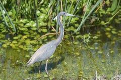 走在清楚的水中的小的蓝色苍鹭 免版税库存图片
