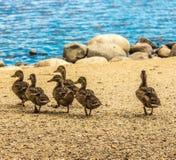 走在湖岸的六只小鸭子 免版税库存照片