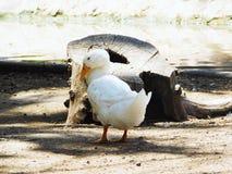 走在湖旁边的一只公鸭子在阳光 免版税图库摄影