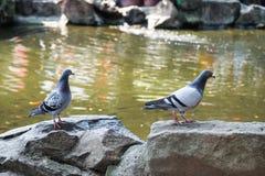 走在湖旁边的两只白色鸠 免版税库存图片