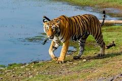 走在湖旁边的老虎 免版税库存图片