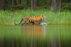 走在湖水中的阿穆尔河老虎 危险动物, tajga,俄罗斯 在绿色森林小河的动物 灰色石头,河小滴 西伯利亚 免版税库存照片