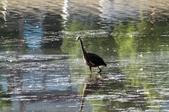 走在湖的苍鹭 免版税库存照片
