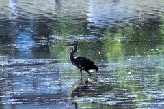 走在湖的苍鹭 免版税库存图片