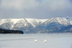 走在湖kussharo的两只天鹅 库存图片