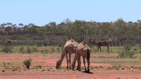 走在澳大利亚的澳洲内地的骆驼 影视素材