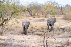 走在灌木的成人和年轻非洲大象 野生生物徒步旅行队在克留格尔国家公园,主要旅行目的地 免版税图库摄影
