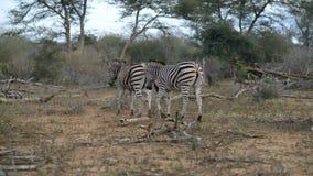 走在灌木的斑马牧群  野生生物徒步旅行队在克留格尔国家公园,主要旅行目的地在南非 股票视频