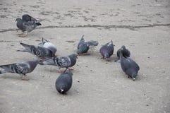 走在灰色沥青的城市街道上的鸟鸽子 免版税库存图片