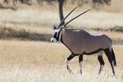 走在热的卡拉哈里太阳的一个象草的平原的孤立羚羊属 库存图片