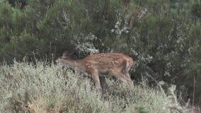 走在照相机视图之外的被加点的小鹿 股票视频