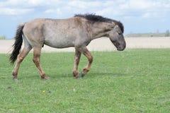 走在牧场地的野生圆锥形公马 免版税库存图片