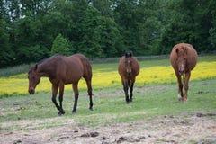 走在牧场地的马 库存照片