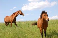 走在牧场地的马 免版税库存图片