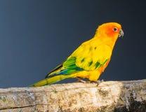 走在特写镜头的一个分支,从巴西的一只五颜六色的热带鸟的Jandaya长尾小鹦鹉 库存照片