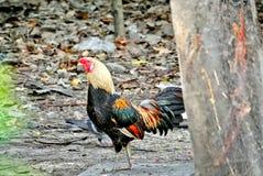 走在狂放搜寻的雄鸡食物 库存照片