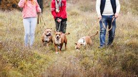 走在狗斯塔福德郡狗品种的习性的自然的部落人家庭  免版税图库摄影