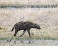 走在短的草的一条鬣狗Sideview由一条小小河 免版税库存图片