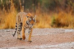 走在石渣路的老虎 野生生物印度 与第一雨,野生动物在自然栖所, Ranthambore的印地安老虎,  免版税库存照片