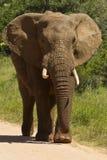 走在石渣路的非洲大象 库存照片