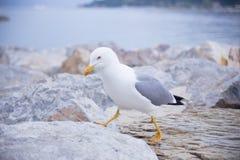 走在石头的海鸥 免版税图库摄影