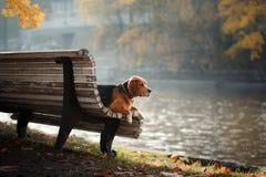 走在秋天公园的狗小猎犬 免版税库存图片