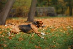 走在秋天公园的狗小猎犬 免版税库存照片