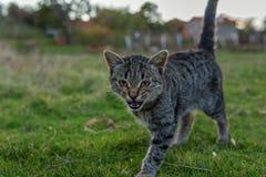 走在秋天的美丽的猫 图库摄影