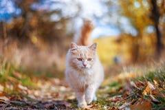 走在秋天的美丽的猫 免版税库存照片