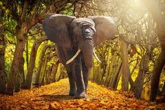 走在秋季胡同的大象 免版税库存照片